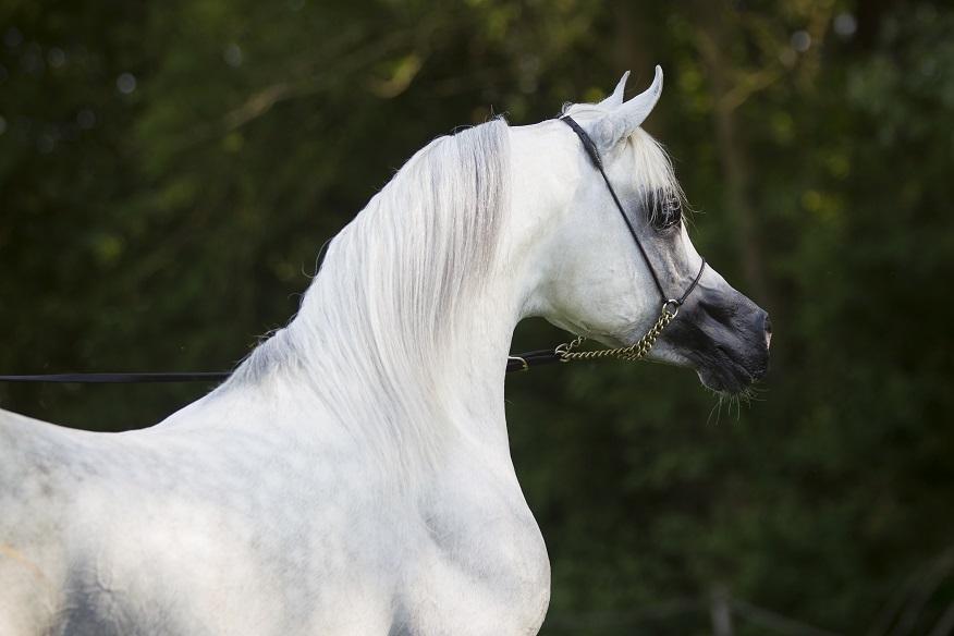 Nafiesa Arabians